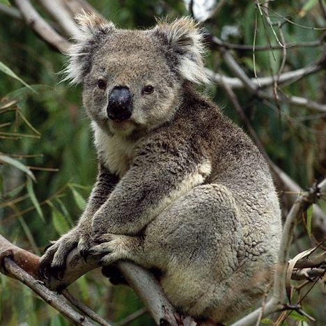 koala encarta